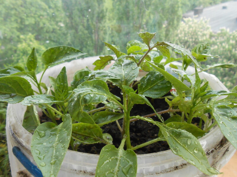 подкормка рассады томатов и перца в домашних условиях